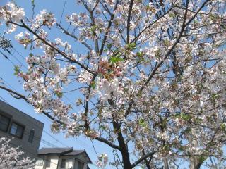 サクラ咲いてますpictIMIMG_1284.jpg